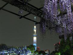 '13 亀戸天神 藤祭り 早咲きの藤(藤のライトアップ&スカイツリー)