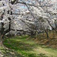 名古屋の定番を楽しもう♪(2013年3月編)~桜いっぱいの鶴舞公園・東山動植園・平和公園など~