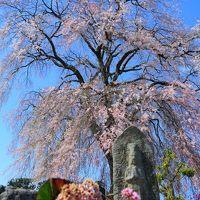 長野 桜めぐり~栖林寺、馬見塚公園