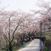 日本の桜の名所百選に選ばれた大法師公園の桜
