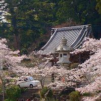 アメリカ15日間の旅前泊の花見(1)・・・東金市八鶴湖公園の観桜(1)