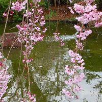 アメリカ15日間の旅前泊の花見(3)・・・東金市本松寺のしだれ桜