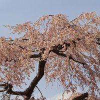 アメリカ15日間の旅前泊の花見(6)・・・東金市中央公園のしだれ桜