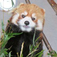2013年4月春の円山動物園ホッキョクグマのララと双子の赤ちゃん可愛いさにキュン~♪ちよっこっと 4トラプチオフ会 ミシュラン獲得手打ちうどん寺屋