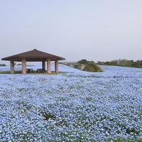 青空に続く花の絨毯ネモフィラ 海の中道海浜公園にて