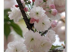 Solitary Journey [1186] 八重桜in広島'花のまわりみち'遅咲きのヤエザクラが見ごろでした。<造幣局広島支局>広島市佐伯区