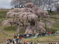三春の滝桜、圧巻です。