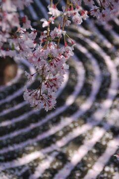 京都で 2013年度六回めのお花見② 妙心寺~府立植物園のライトアップなどなど篇