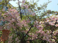 2013年大阪造幣局 桜の通り抜け♪ 可憐な花の競演.。o○