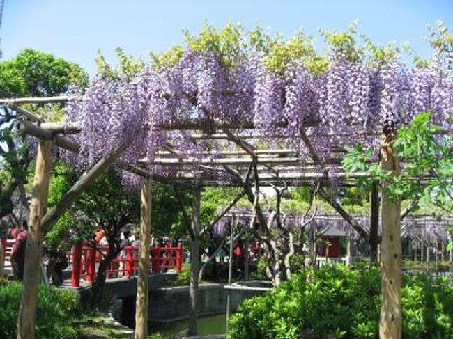 '13 亀戸天神藤祭り 満開の藤&ライトアップ