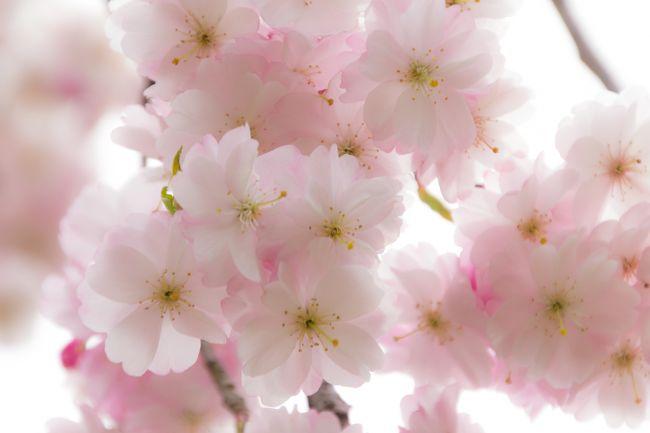 丁度一年前、樹齢320年の一本桜の<br />素晴らしい作品に出逢いました。<br />写真の美しさ、素晴らしさも然ることながら<br />凛とした姿に感動を覚え、私もこの目で見てみたいと、<br />その時から撮られた方と同じ時期に行こう!と決め<br />甲州への旅の夢が膨らみました。<br /><br />今年の桜の開花は、<br />かなり早かったり、強風で散ってしまったり・・・<br />当日は散っていることを知ってましたが<br />心に残った風景は、花が咲いている時だけではなく、<br />咲いていなくても姿を見てみたいと。<br /><br />今回の旅は、想いを実現させるべく、<br />甲州方面を中心に<br />遅咲きの桜を求めて、気のむくまま旅してみました。<br /><br />☆前編<br />・わに塚の桜<br /> (田園風景の中の一本桜、新緑を楽しむ)<br />・白州・尾白の森名水公園<br /> (オーガニックランチ・森の散策)<br />・老舗和菓子店・金精軒<br /> (極上生信玄餅購入・宿場町の雰囲気を味合う)<br />・山梨県立フラワーセンター・ハイジの村<br /> (チューリップ・ハイジの世界を堪能)<br />・谷戸城址公園(遅咲きの桜を楽しむ)<br />http://4travel.jp/traveler/hishi3000/album/10766970/<br /><br />★後編<br />・野辺山高原(南アルプスを望む)<br />・清泉寮(高原の風を感じる)<br /> ソフトクリーム・お土産品購入・散策<br />・吐竜の滝<br /> (水の流れを感じ心地よい散策・滝撮影挑戦)<br />・道の駅 南きよさと<br /> (圧巻のこいのぼりに感動)<br />・そばきり祥香<br /> (八ヶ岳の地粉と名水で打つ蕎麦を堪能)<br />・サントリー天然水白州工場<br /> (天然水ガイドツアー参加、自然との共存を考える)<br /><br />宿泊先:ヒュッテ・エミール(オーベルジュ)<br /><br /><br />では、気ままな旅、後編 はじまり。<br />
