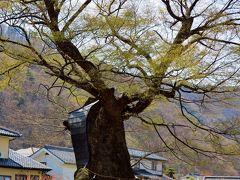 千曲市森a 大宮神社の大ケヤキは御神木 ☆参拝,昼食はおぎのや弁当