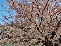須坂a 臥竜公園 さくらまつり 最盛況!☆竜ヶ池周囲の桜 晴天満開に