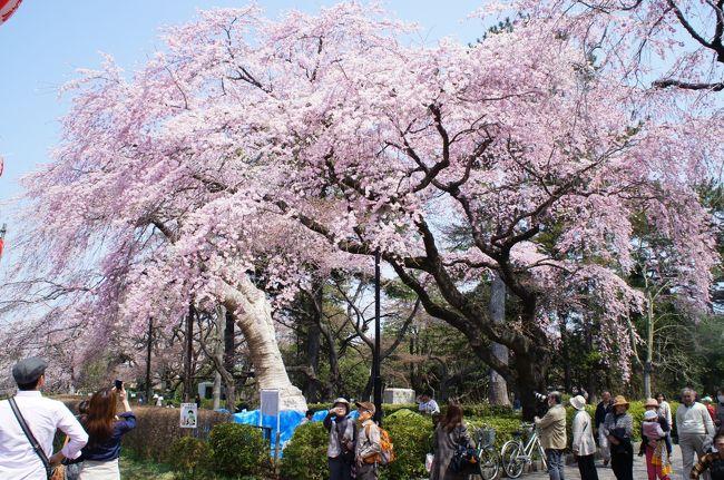 初めてお花見に行ったのがこちらの榴ヶ岡公園。<br />ここは、1695年に伊達家第四代藩主綱村公がサクラ等1000本を植えたことに始まり、<br />文化年間の大火によりサクラの大半が焼失したが、<br />昭和3年に昭和天皇御即位記念としてサクラ100本を植えました。<br />その後に植えたものを含め約370本のサクラがある公園です。<br /><br />私が行った時はちょうど七分咲きでしたがとても綺麗でした。<br /><br />お花見で家族連れが多く楽しんでいました♪<br /><br />370本以上あると思えるほど大きい桜が咲き誇っていたので<br />来年もまた行きたいなと思います。<br />