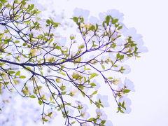 バンクーバー花図鑑(5月初旬)ハナミズキが満開です@バンデューセン植物園