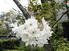吉備路文学館の鬱金桜
