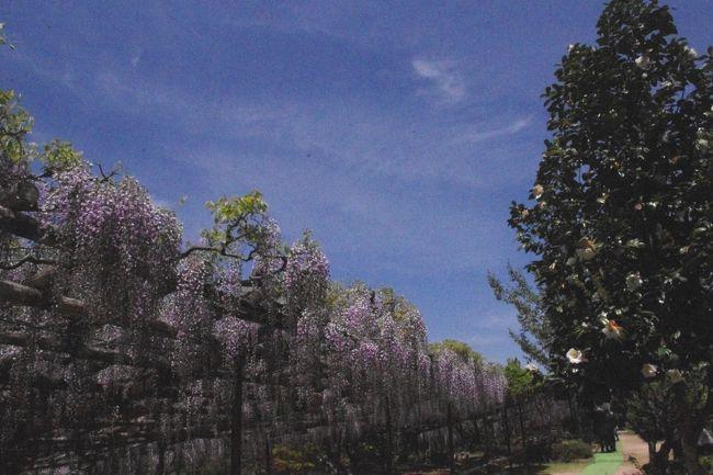 樹齢300年以上を超えた後光藤が見頃の<br />鎌掛(かいがけ)の藤の寺として知られる正法寺<br />と<br />普通は800m〜1000mの高所に自生しているシャクナゲ<br />ですが<br />300m〜400mの谷間にホンシャクナゲ(7弁7裂・14雄しべ)<br />が<br />斜面約4万平方メートルに約2万本が群生していると言う<br />シャクナゲ渓谷<br />滋賀県蒲生郡日野町へ<br /><br /> <br />