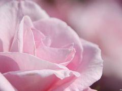 春バラに魅せられて:大船植物園(後半)
