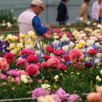 2013 深谷市 花園芍薬園 美の競演ー下