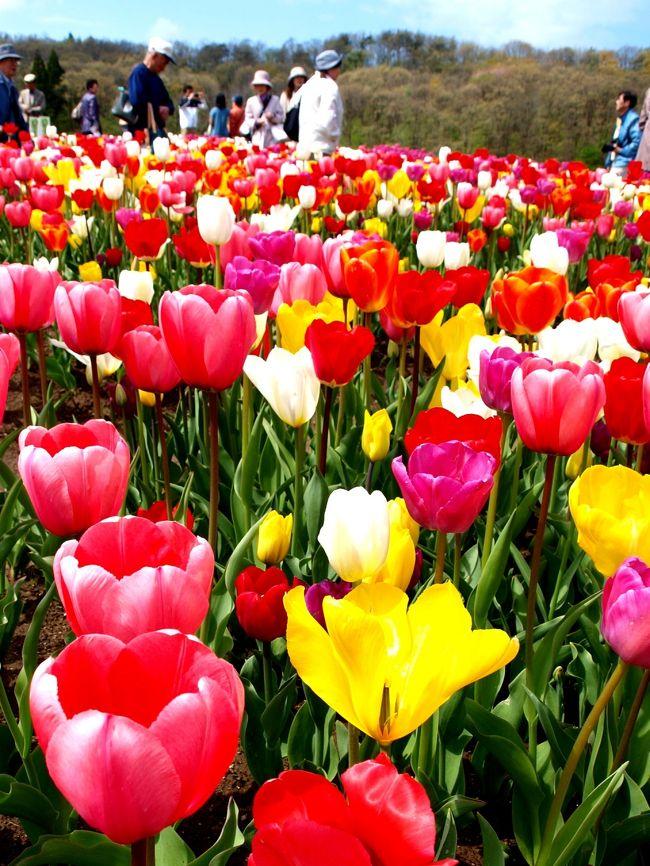 連休に入り例年開催されている国営越後丘陵公園(http://echigo-park.jp/)チューリップまつり(http://echigo-park.jp/event/tulipFes/index.html)に出かけて来ました。北陸道長岡ICからほど近い所にある丘陵公園、当日は入園無料開放の日で開園から大賑わいでした。<br /><br /> 駐車料金を払い案内に従って駐車場に停め、入園ゲートに向かいましたが家族連れなどでごった返していました。記念写真を撮影していたり、迷子カード(迷子予防)を受け取っている親子連れ、それぞれウキウキしながらの入園でした。<br /><br /> ゲートを通るとそこは春の別世界。通路にも色とりどりのチューリップ。バラゾーンを通り抜けるとチューリップゾーン。天候にも恵まれ深呼吸したくなるほどの清々しさでした。