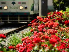 都電荒川線の三ノ輪橋周辺に咲く薔薇を見に訪れてみた