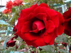 第15回国際バラとガーデニングショウを楽しむ