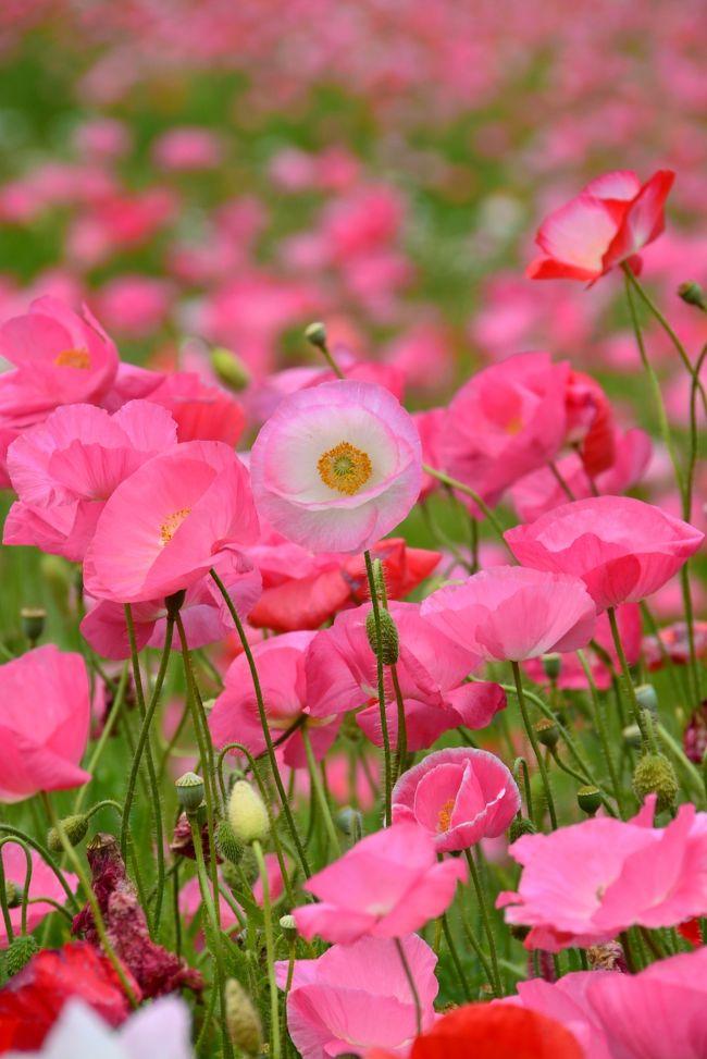 """横須賀市にある 「くりはま花の国」の """"ポピーまつり""""(4/6〜6/9)に、少し遅くなりましたが、行ってきました。<br /><br />【くりはま花の国】  <br /><br /> 緑豊かな自然とのふれあいを満喫でできる花をテーマにした公園。<br /> 元はアメリカ軍の倉庫のあったところで、面積は約583千?。<br /> ここを久里浜緑地として整備し、園内にはコスモス・ポピー園、ハーブ園、四季の花壇、冒険ランド、足湯、レストランなどがありま す。<br /> 横須賀市が運営し、入場料は無料。<br />"""