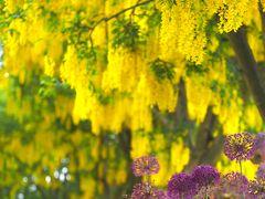 バンクーバー花図鑑(5月下旬)キングサリの季節@バンデューセン植物園
