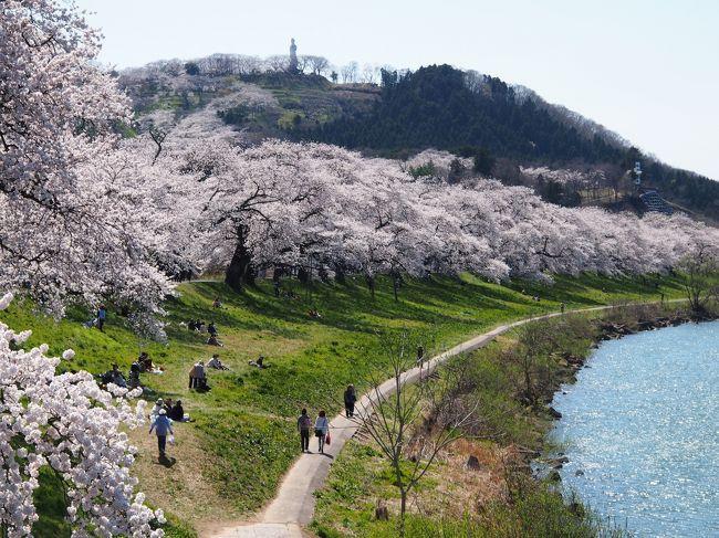 白石川の堤に、延々と続く・・・桜のトンネルに感動~~!!☆一目千本桜☆