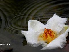 沙羅(夏椿)を追って 京都 東林院~兵庫 應聖寺~大阪 久安寺