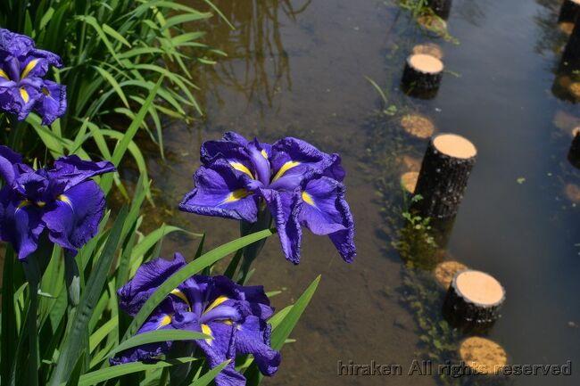 枚方市にある府営公園。菖蒲に少し早かったかな。でも、若くて元気な切れ味のある良い色だった。天候も梅雨なのに恵まれた。