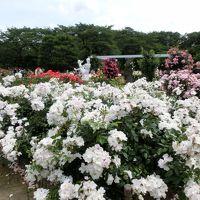 生田緑地薔薇園