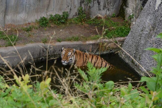 暑くて、虎も水浴び!初めて見た。紹介には水遊び大好きとあった!