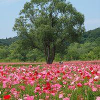 風に揺れる・・・ポピーの赤やピンクの絨毯・・・眩しすぎ~~!!! ☆みちのく杜の湖畔公園☆
