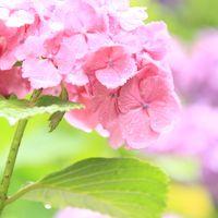 紫陽花、雨に咲く ~~多摩川台公園~~