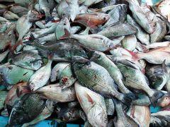 今日は大漁だ、「敏福丸」で鯛網を楽しむ