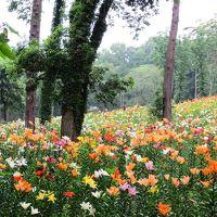 <トトロの故郷・梅雨>雨の日の花散歩・45万株のゆりと10万本の花菖蒲