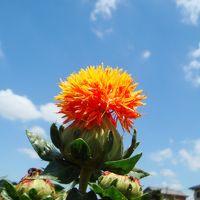 桶川 べに花祭り かわいい黄色の花たち そしてラベンダー再び 久喜しらさぎ公園