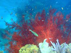 今年の沖縄旅行第2弾⑥黒島でシュノ-ケル、はじめてみる赤サンゴ