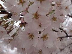 吉野山の千本桜を見に往く