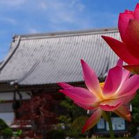 伊豆の国市 成福寺の花蓮
