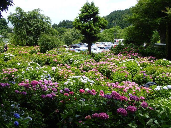 紫陽花の季節なので、どこかに紫陽花の名所はないかと検索したところ、久留米市にあじさい寺なるものを発見。<br />真夏の日差しに息も絶え絶えの紫陽花を見てきました。<br />スゴイ人気です。<br />めずらしく日曜日にお出かけしたので、人の多さにもちょっとビックリ。<br />千光寺の駐車場を目指すのはあきらめ、約1キロ離れた道の駅久留米から歩きました。<br />暑かった〜。<br /><br />*紫陽花の写真ばっかりです*