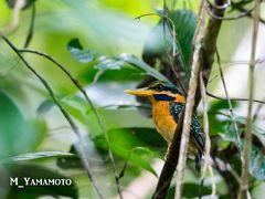 Way Kambas 国立公園で探鳥3