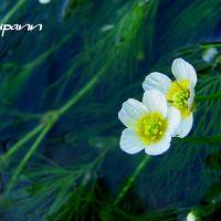涼を求めて〜滋賀 醒ヶ井へ 清流に咲く可憐な梅花藻