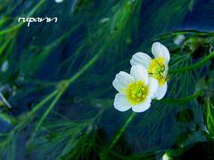 涼を求めて~滋賀 醒ヶ井へ 清流に咲く可憐な梅花藻