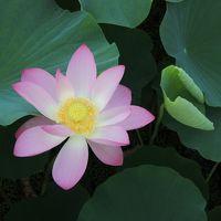 7月7日・七夕の日に蓮の花で癒やされた・・・。(^^)
