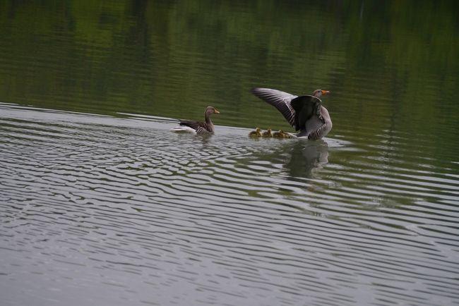 ザルツブルク2泊3日レオポルドクロン城宿泊朝食、サウンドオブミュージックツアー付、お茶券付。<br />パノラマツアーズパッケージの続きです。<br /><br />写真は朝、一人でお散歩している時、城の湖の鴨一家の泳ぐ姿をカメラで追っていた時、偶然、鴨のお父さんがシャッターを切る瞬間が分かったのでしょうか、<br /><br />羽を広げてくれました。<br /><br />動物のショットを撮るのは何時間も待ち構えて一枚という難しさなのに一瞬のこのワンショット!<br />幸運としか言いようがありません。