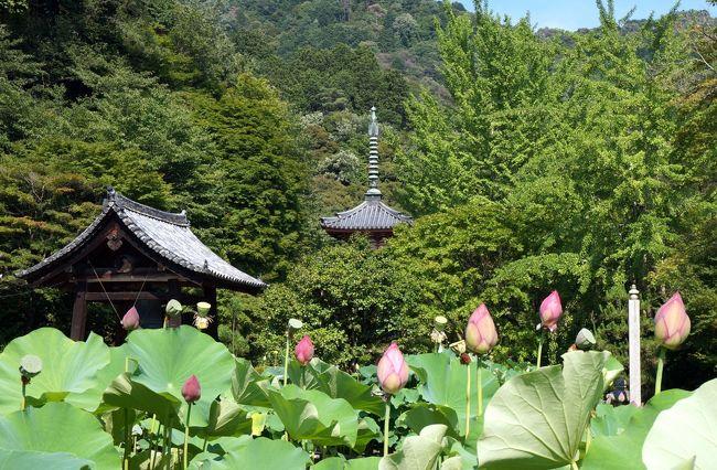 4トラベル100回記念の京都旅行です。<br />1日目の午後は宇治を訪ねます、当初宇治は平等院の鳳凰堂、宇治上神社本殿共、平成の大修理で取壊されている為、黄檗山万福寺と三室戸寺のみを訪ねる予定でした。<br />しかしカミサンから、今回の旅行のテーマは源氏物語なのだから、宇治には是非行きたい、又宇治の源氏物語ミュージアムも訪ねたいと云うので急遽変更です。<br /> 京阪中書島駅から宇治線に乗り、先ず三室戸駅で下車します。<br />山に向って15分も歩くと三室戸寺が見えて来ます。<br />西国十番札所でもあります。<br />      <br />           <br />   (写真は三室戸寺)