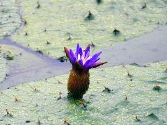 水生植物を訪ねて 葛飾水元公園のオニバス、菊名池公園のコウホネ、横浜三渓園、馬場花木園ハス