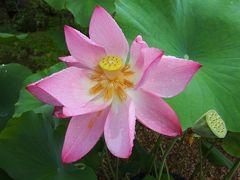 京都・蓮の法金剛院そして弥勒菩薩の広隆寺へ